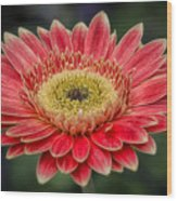 Colorful Daisy Wood Print