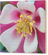 Columbine Flower 1 Wood Print