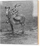 Comic Criminal Riding A Zebra Wood Print