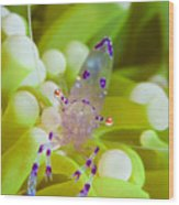 Commensal Shrimp On Green Anemone Wood Print by Steve Jones