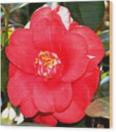 Coral Camellia At Pilgrim Place In Claremont-california  Wood Print