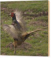 Crowing Pheasant Wood Print