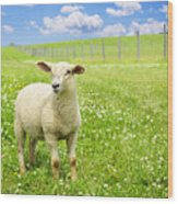 Cute Young Sheep Wood Print