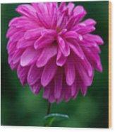 Dahlia Field Wood Print