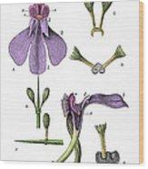Darwins Orchis Pyramidalis, Illustration Wood Print