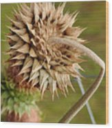 Dried Up Thistle Wood Print