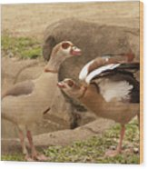 Egyptian Geese Wood Print