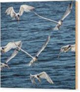 Elegant Terns Diving For Fish Wood Print