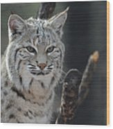 Face Of A Canadian Lynx Wood Print