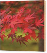 Fall Color Maple Leaves At The Forest In Aomori, Japan Wood Print