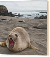 Female Northern Elephant Seal  Mirounga Angustirostris Wood Print