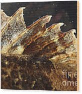 Fin Of Shorthorn Sculpin Wood Print
