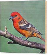 Flame-colored Tanager Piranga Bidentata Wood Print