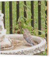 Fledgling Bluebird At Birdbath Wood Print