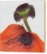 Flower Poppy In Studio Wood Print