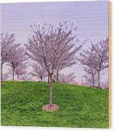 Flowering Young Cherry Trees On A Green Hill In The Park  Wood Print