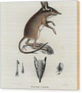 Four-toed Elephant Shrew Wood Print