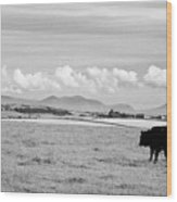 Free Range Beef Cattle On Open Farmland Anglesey North Wales Uk Wood Print