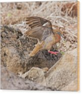 Galapagos Dove In Espanola Island. Wood Print