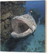 Giant Grouper, Great Barrier Reef Wood Print