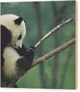 Giant Panda Ailuropoda Melanoleuca Year Wood Print