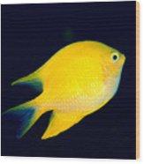 Golden Damselfish Wood Print