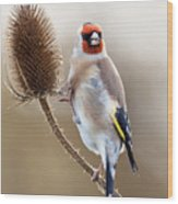 Goldfinch On Teasle Wood Print