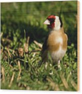 Goldfinch Spring Wood Print