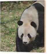 Gorgeous Black And White Giant Panda Bear Walking Wood Print