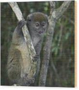 Gray Bamboo Lemur Wood Print