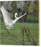 Great Egret Prepared For Landing Wood Print