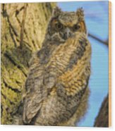 Great Horned Owl Fledgling  Wood Print