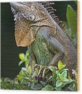Green Iguana Iguana Iguana, Sarapiqui Wood Print
