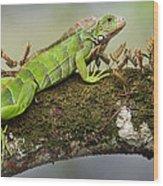 Green Iguana Iguana Iguana, Tarcoles Wood Print