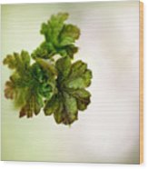 Growing Red Currant Wood Print