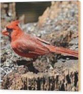 Hungry Cardinal Wood Print