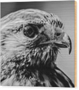 Harris Hawk   Wood Print