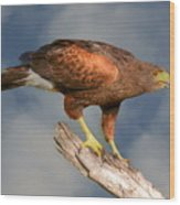 Harris's Hawk On Watch Wood Print