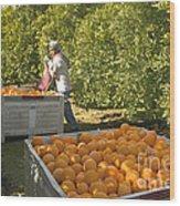 Harvesting Navel Oranges Wood Print