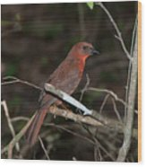 Hepatic Tanager At The Coba Ruins Wood Print