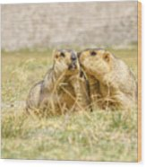 Himalayan Marmots Pair Kissing In Open Grassland Ladakh India Wood Print