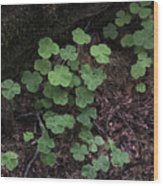 Hoh Rain Forest 3393 Wood Print