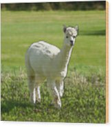 Illustration Of White Alpaca Like Llama Walking In Field Unique And Different Wood Print