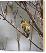 Img_0001 - American Goldfinch Wood Print