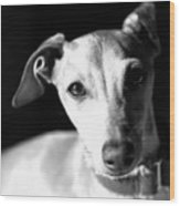 Italian Greyhound Portrait In Black And White Wood Print
