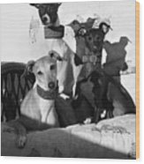 Italian Greyhounds In Black And White Wood Print