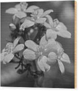 Jatropha Blossoms Painted Bw Wood Print