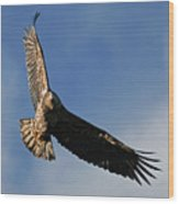 Juvenile Bald Eagle Wood Print