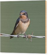 Juvenile Barn Swallow Wood Print