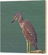 Juvenile Black Crowned Night Heron Wood Print